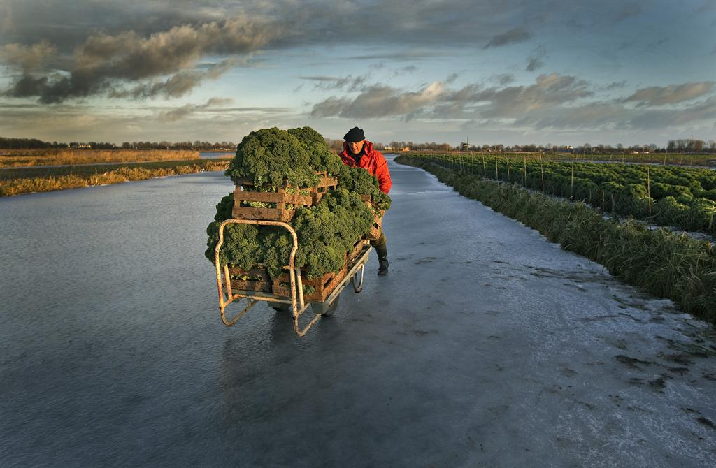 Man with kale in wheelbarrow Holland