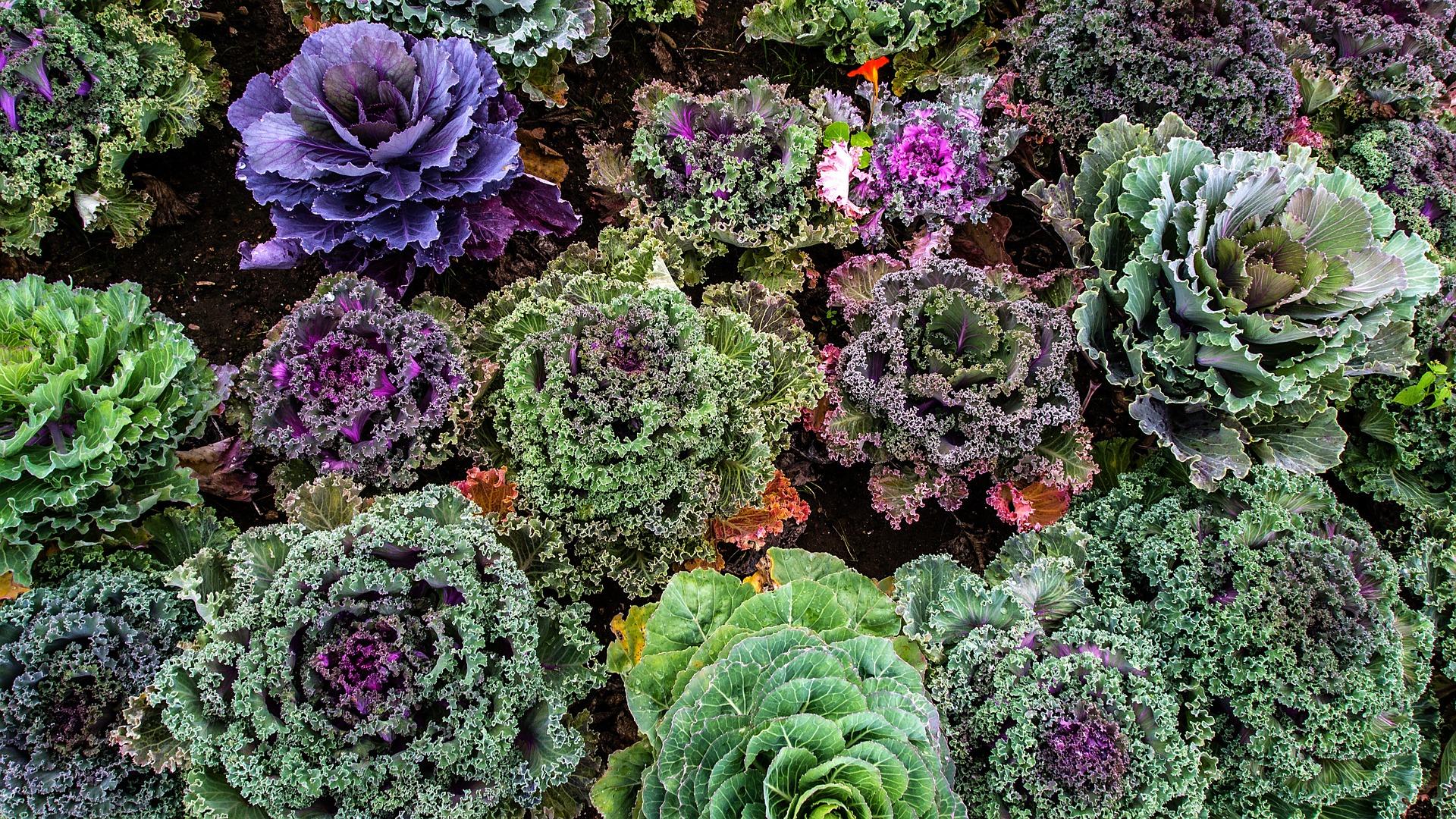Beautiful kale plants